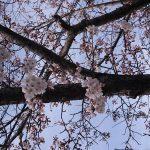 岡山市東区 桜